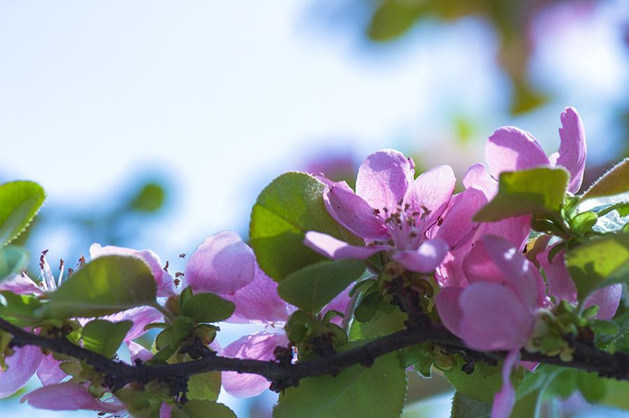 모과나무꽃 (3).jpg