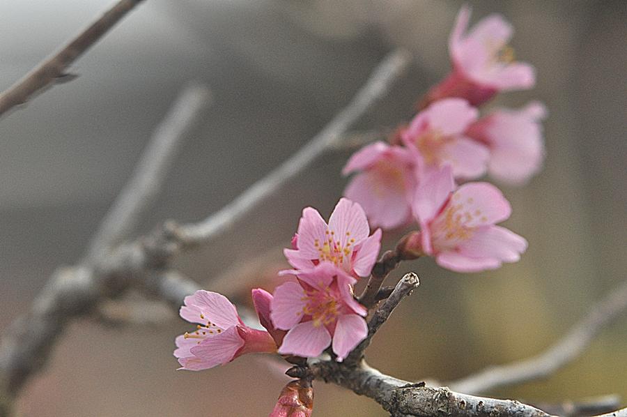일본벗꽃 (1).JPG