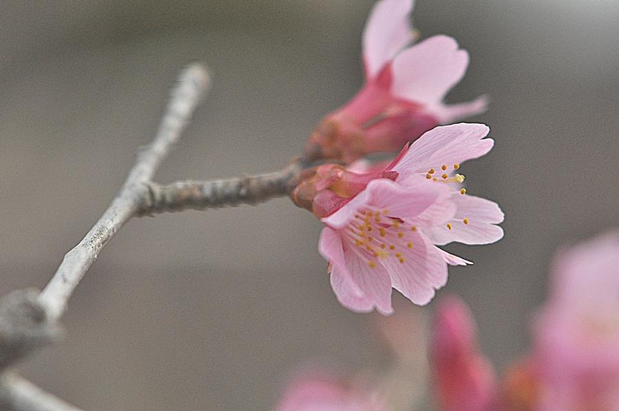 일본벗꽃 (4).JPG