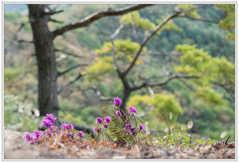 가는잎향유2.jpg