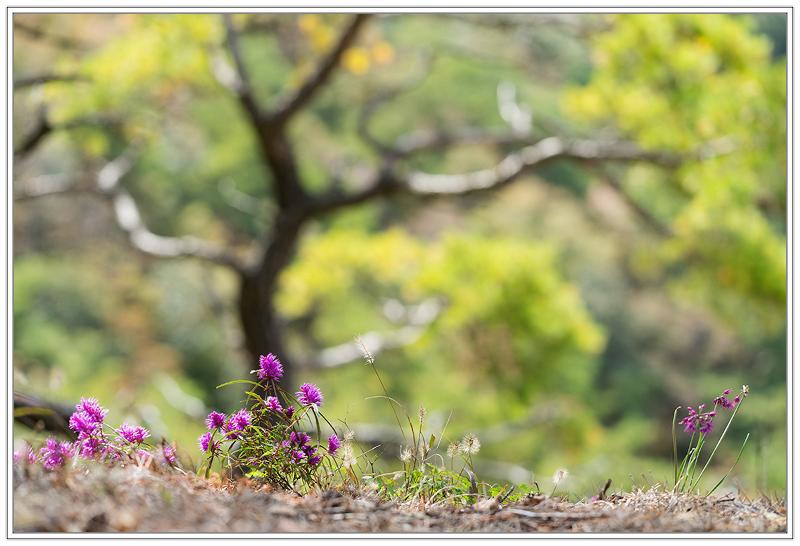 가는잎향유1.jpg