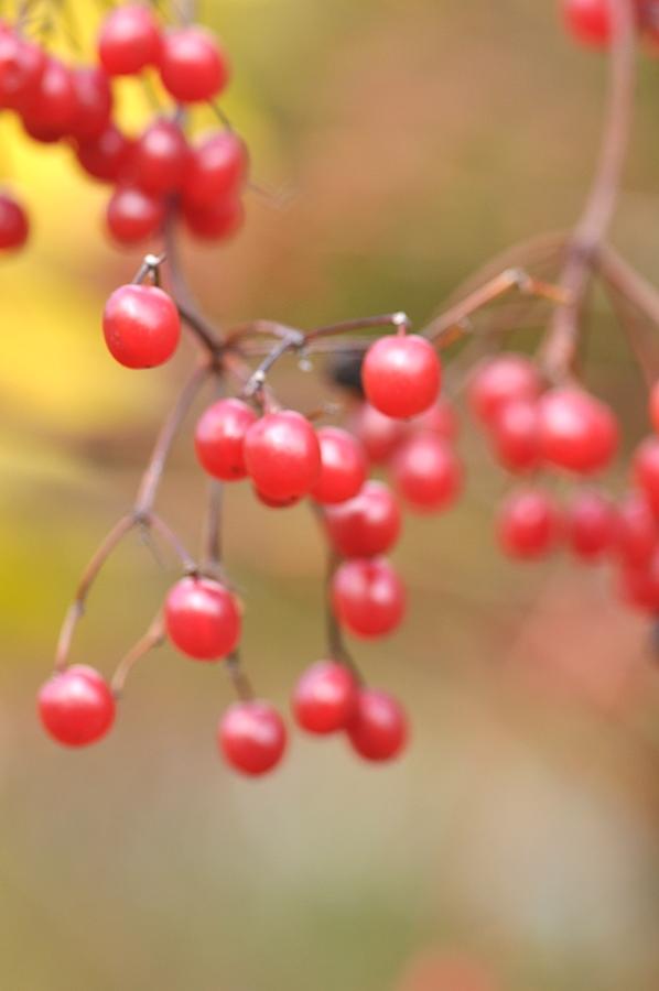 백당나무열매 (2).JPG
