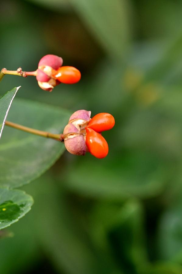 사철나무열매 (2).JPG
